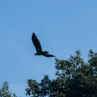 I believe this was a female bald eagle.