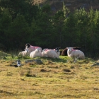 All the sheep are sprayed with different colours so the farmers can differentiate them. They more or less roam free.